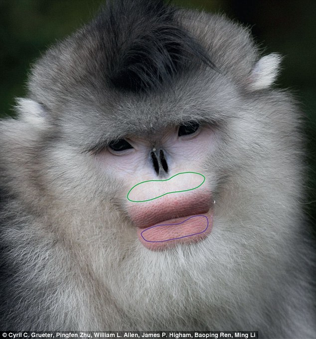 For black-and-white sub-nosed monkeys, lip colour is an indicator of mating status, and it